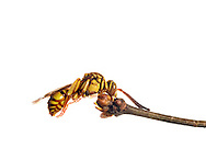 Sleeping Cuckoo Bee (Nomada sp), South Carolina, USA