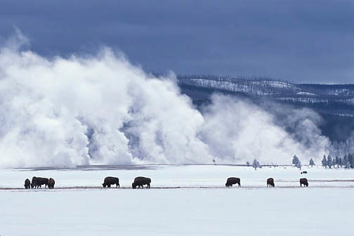 Bison, (Bison bison) Yellowstone National Park.