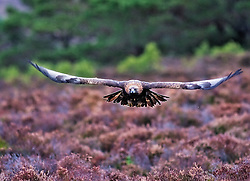 A Golden Eagle is flying over the heather in the Cairngorms National Park in the Scottish Highlands