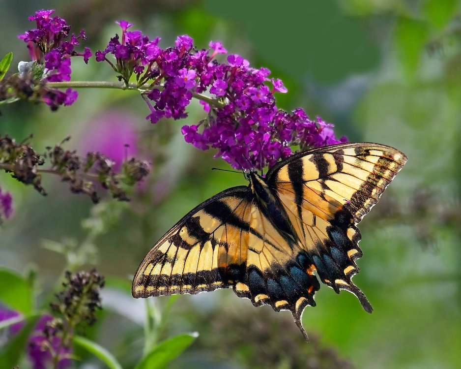 A pretty shot of a yellow swallow tailed butterfly in the Shakespeare Gardens.