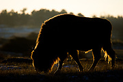 European bison (Bison bonasus) grazing on a cold morning