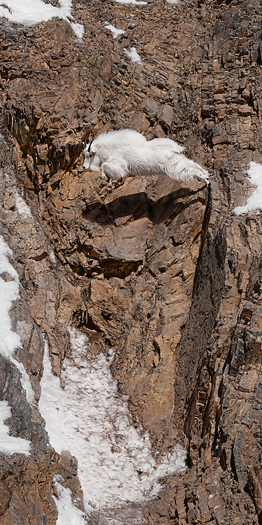 Mountain Goat jumping a wide crevice in the Snake River Canyon near Jackson Hole, WY.
