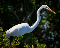 Great Egret. Biolab Road, Merritt Island National Wildlife Refuge. Image taken with a Nikon D4 camera and 500 mm f/4 VR lens (ISO 900, 500 mm, f/8, 1/4000 sec).