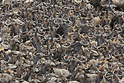Wildebeest<br /> Connochaetes taurinus<br /> Maasai Mara Reserve, Kenya<br /> A herd gathers while crossing the Mara River