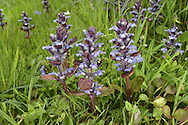 BUGLE Ajuga reptans (Lamiaceae) Height to 20cm. Familiar, upright perennial with stems hairy on 2 opposite sides only. Grows in woods and grassy places, usually on damp, heavy soils. Leafy, creeping runners root at intervals. FLOWERS are 15mm long and bluish violet, the lower lip with pale veins. FRUITS are nutlets. LEAVES are ovate; lower leaves are stalked, upper ones are unstalked and borne in opposite pairs. STATUS-Widespread and commonest in the S.