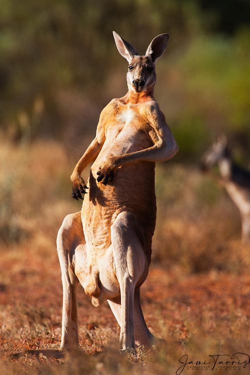 An male red kangaroo (Macropus rufus) standing up on back legs and tail,  Sturt Stony Desert,  Australia