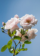 The New Dawn rose is a sturdy climbing rose. This one is on a trellis on my house, and stetches up 15 feet.
