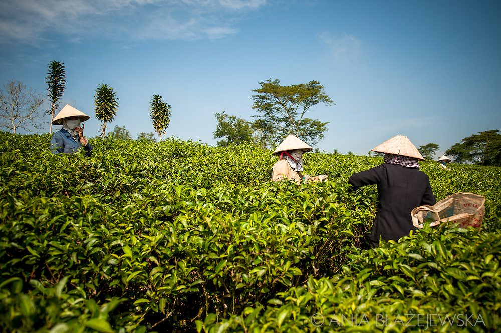 Vietnam, Bao Loc. Tea pickers working in the morning on tea plantations.