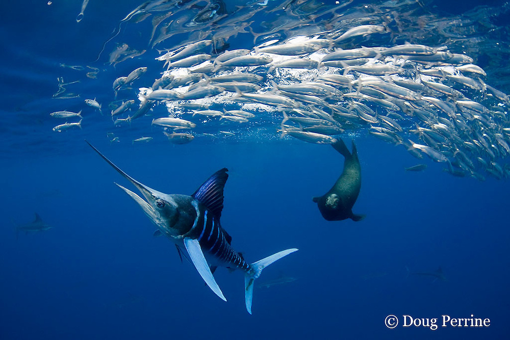 striped marlin, Kajikia audax (formerly Tetrapturus audax ), and California sea lion, Zalophus californianus, feeding on baitball of sardines or pilchards, Sardinops sagax, off Baja California, Mexico ( Eastern Pacific Ocean )
