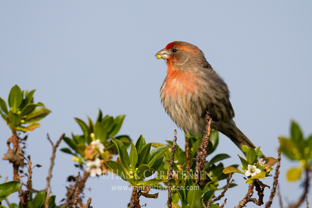 A house finch perches on a flowering bush