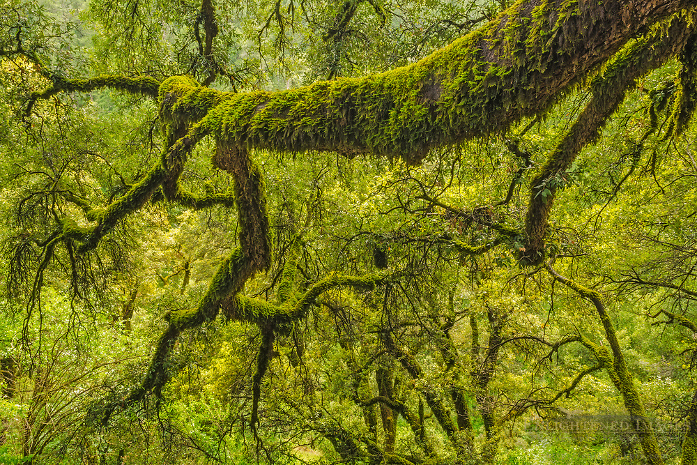 Moss-covered tree branch in forest, Shasta-Trinity National Forest, Shasta County, California