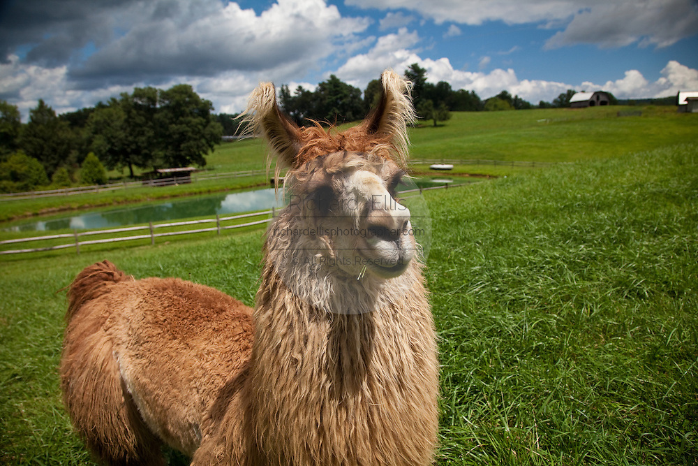 A Llama stands in a field in Brevard, NC in the Blue Ridge mountains of western North Carolina.