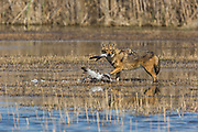 Golden Jackal (Canis aureus), eats a common Crane (Grus grus). Photographed in the Hula Valley Israel