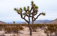 United States, California, Joshua Tree National Park. Jumbo Rocks. A Joshua tree.