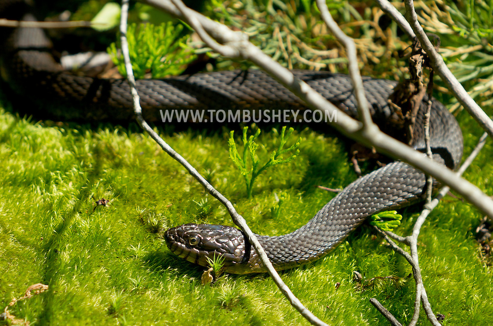 Mamakating, New York - A northern water snake at the Bashakill Wildlife Management Area in Sullivan County on June 3, 2012.