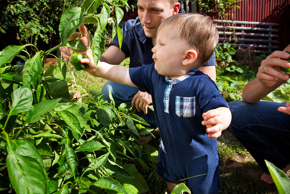 Young caucasian dad showing toddler how to pick vegetables in back yard garden