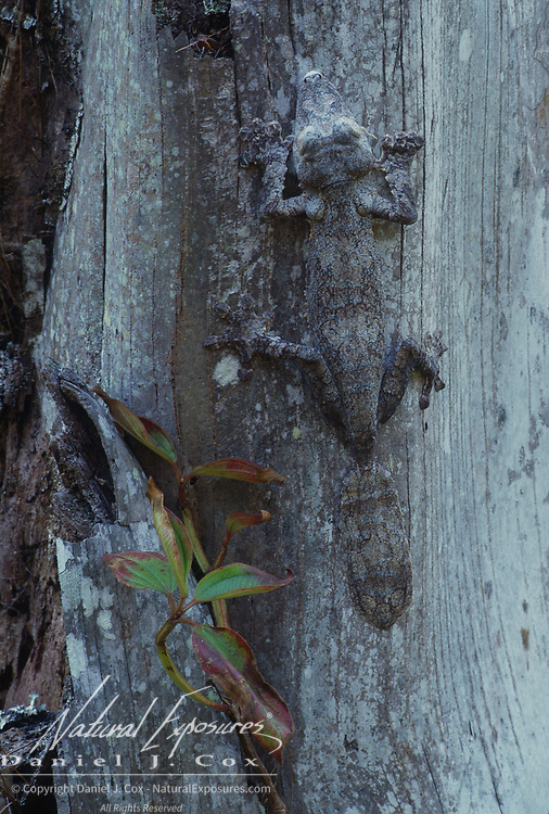 Leaf-tailed Gecko, (Uroplatus fimbriatus) Camouflaged against tree. Madagascar.