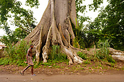 A man passing by a huge ocá (oka) tree, in São Tomé island.