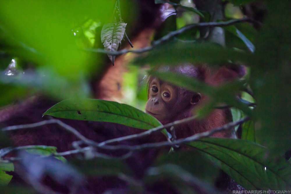 Juvenile Orang Utan in the forest of the Danum Valley Conservation Area (DVCA), Borneo - Malaysia