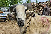 ANYANG, CHINA - APRIL 25: (CHINA OUT) <br /> <br /> A sheep is seen at the sheep-fighting match during the temple fair in Hua County on April 25, 2016 in Anyang, Henan Province of China. About 150 sheep most of which were small-tail han sheep joined the goat-fighting match during the traditional temple fair in Hua County. <br /> ©Exclusivepix Media