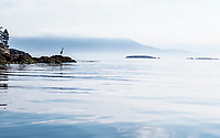 A Great Blue Heron hunting off Orcas Island in Rosario Strait, Washington, USA.