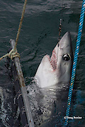 a hooked porbeagle shark, Lamna nasus, is pulled into the boat to be measured and tagged for research, New Brunswick, Canada ( Bay of Fundy )