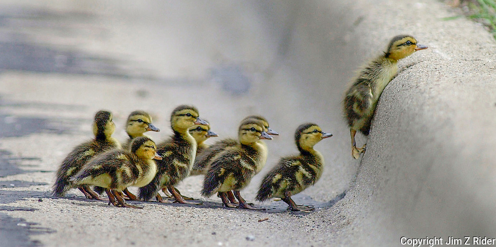 A family of mallard ducklings make their way up a curb after crossing a busy four lane road.  Overcoming obstacles. Determination. Leadership. Team building. Ducks. Wildlife. Guidance. Winner. Perspective.