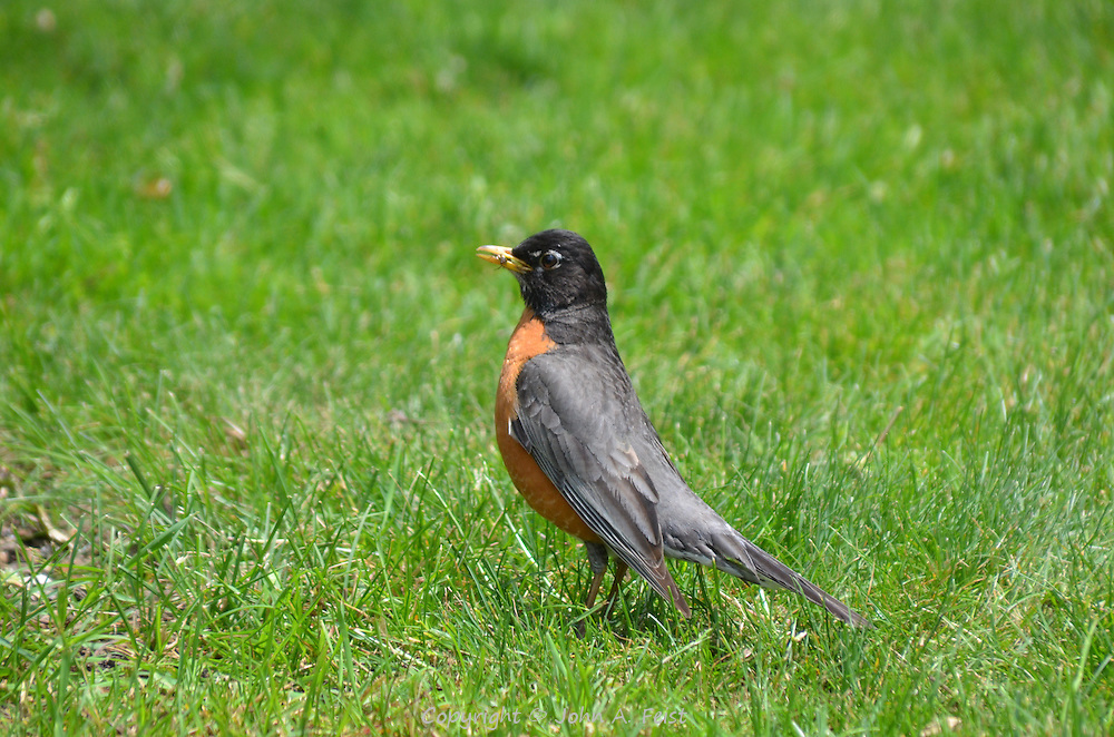 A robin having a noontime snack in the Boston Public Garden, Boston, MA