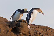 Yellow-eyed Penguin showing aggression towards a juvenile penguin.  New Zealand.