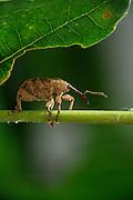 Male Acorn weevil (Curculio glandium) , The Biosphere Reserve 'Niedersächsische Elbtalaue' (Lower Saxonian Elbe Valley), Germany | Der Rüssel des männlichen Gewöhnlichen Eichelbohrers (Curculio glandium) ist nicht so lang wie der des Weibchens - schließlich muss er ja auch nicht so tief in die Eicheln bohren, um dem Nachwuchs einen sicheren und nahrungsreichen Start zu ermöglichen. Auch er ernährt sich von den Blättern der Eichen, an deren Verbreitungsgebiet er somit auch gekoppelt ist.
