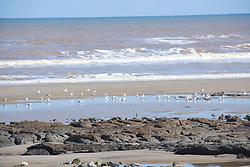 Seagulls on beach at Tunstall; East Yorkshire; England