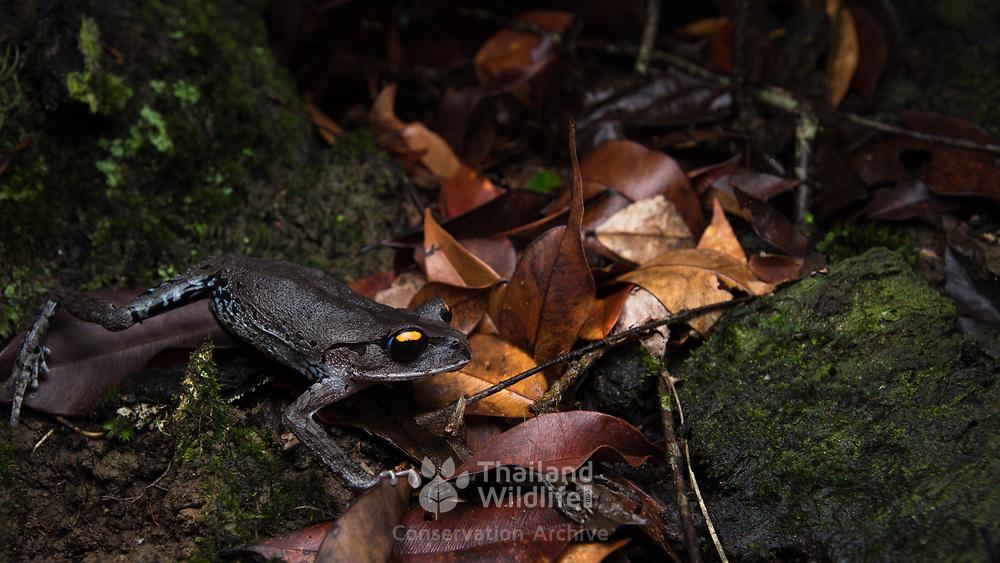 Smith's Litter Frog (Leptobrachium smithi) in Kaeng Krachan national park, Thailand