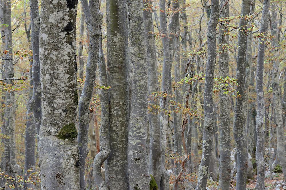 Common Hornbeam, Carpinus betulus, and Beech trees, Fagus silvatica, North Velebit National Park,  Velebit Nature Park, Rewilding Europe rewilding area, Velebit  mountains, Croatia