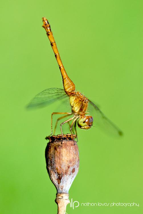 Dragonfly resting on poppy with green backround;  MInnesota in wild.