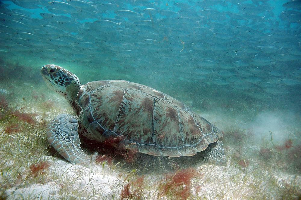 Green Sea Turtle (Chelonia mydas). Location : Akumal, Mexico