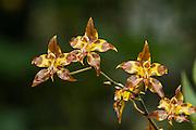 Orchid (Odontoglossum sp.)<br /> Cayambe Coca Ecological Reserve<br /> Andes<br /> ECUADOR, South America