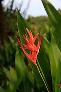 Heliconia, Garden of Eden, botanical garden, Hana Coast,
