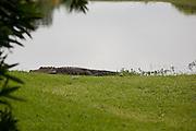 Alligator sunning himself near 7th fairway pond, outside Dad's backyard, oldsmar fl.