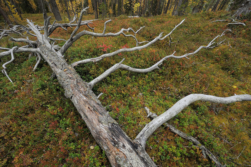 Old-growth, taiga forest in Oulanka National Park, Finland.