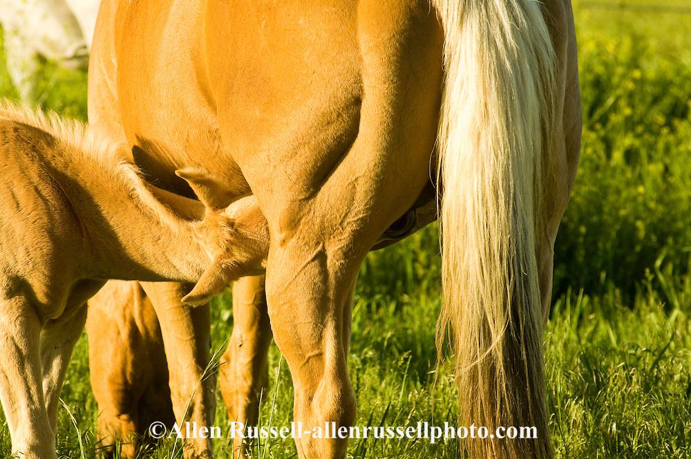 Palamino, Quarter Horse, colt, foal, nursing, <br /> PROPERTY RELEASED