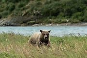 A Brown bear boar walks through the grass at the McNeil River State Game Sanctuary on the Kenai Peninsula, Alaska. The remote site is accessed only with a special permit and is the world's largest seasonal population of brown bears in their natural environment.