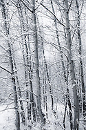 Alberta Canada Trees in snow black and white