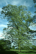 Silver-lime Tilia tomentosa (Tiliaceae) HEIGHT to 30m <br /> Broadly domed tree. BARK Grey, ridged. BRANCHES Mostly straight and ascending. Young twigs whitish and woolly, darkening with age; buds greenish brown, to 8mm long. LEAVES To 12cm long, rounded; with heart-shaped base, tapering tip and toothed margins; dark green, hairless and wrinkled above, white and downy with stellate hairs below. REPRODUCTIVE PARTS 5–10 off-white, strongly scented flowers are supported by yellowish bract. Fruit, to 1.2cm long, is ovoid, warty and downy. STATUS AND DISTRIBUTION Native from Balkans eastwards; planted here and thrives in towns. COMMENTS Woolly leaves ensure no aphids, and hence no honeydew