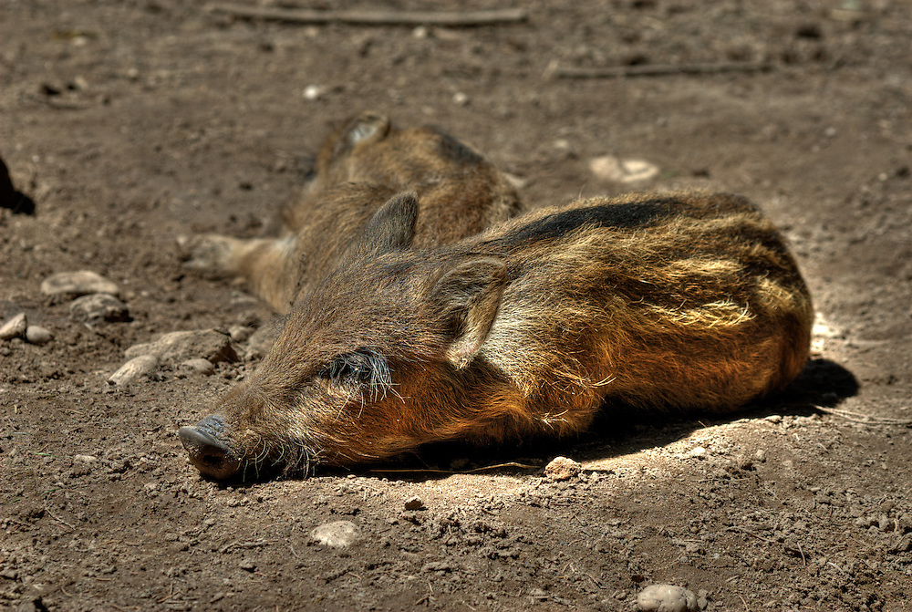 Wild boar (Sus scrofa) piglets sleep in dried mud wallow.