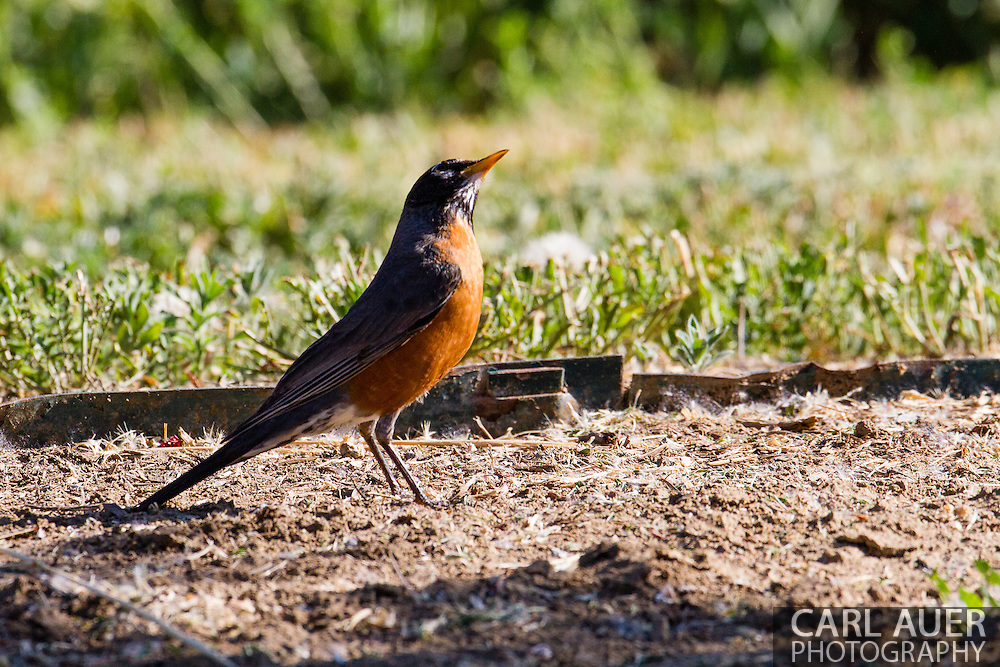 A robin near the Majestic View Nature Center