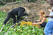 "EXCLUSIVE FEATURE: <br /> Ponso the chimp gets second chance<br /> <br /> For more than 30 years, Ponso the chimp has been living on a deserted island off the Ivory Coast. He has no source of food or water, and his companions all died years ago.<br /> <br /> But thanks to one man, he's alive.<br /> <br /> For several years, a villager named Germain, despite his limited income, has stopped by to drop off food for the lonely chimp. While the diet of bread and bananas isn't enough for the roughly 40-year-old chimp to thrive, it's kept him alive — and it's clear he shows his gratitude.<br /> <br /> Ponso's sad plight is nothing compared to his sad past. For years, he was used in painful tests by the New York Blood Center (NYBC), which conducted hepatitis research using scores of chimps, many of whom were captured from the wild.<br /> <br /> While trapped in the labs, the chimps faced dozens of biopsies and anesthetizations apiece. One lost her eye when researchers shot her in the face with a dart; another had only one arm after he was hit with a bullet meant for his mother — poachers killed her so he could be kidnapped for the lab.<br /> <br /> Mothers lost baby after baby; other chimps strangled themselves at the research center, where for many years they lived chained by their necks to jungle gyms.<br /> <br /> Yet when the tests were over, NYBC decided to abandon the chimps, dumping them on a string of islands near Liberia like the one Ponso lives on. They had no source of food or fresh water, and many died soon after from disease and starvation.<br /> <br /> Ponso himself was one of 20 chimps abandoned in 1983, but, in the words of one aid group, the island soon became a ""veritable massacre."" Within months, half of the mistreated animals were dead or missing.<br /> <br /> The nine survivors were relocated. A short time after, five more of them were dead.<br /> <br /> Ponso was the sole survivor, along with his mate and their two children. But the rest of his little family died within days of each other in 2013. Germain, the villager who had been feeding them, reported that Ponso helped"