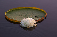 Giant lily pad and lotus flower in the Pantanal region of Brazil.