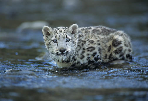 Snow Leopard (Panthera uncia).  A young cub in a shallow river.  The snow leopard inhabits the Himalayas in Asia.  Captive Animal.