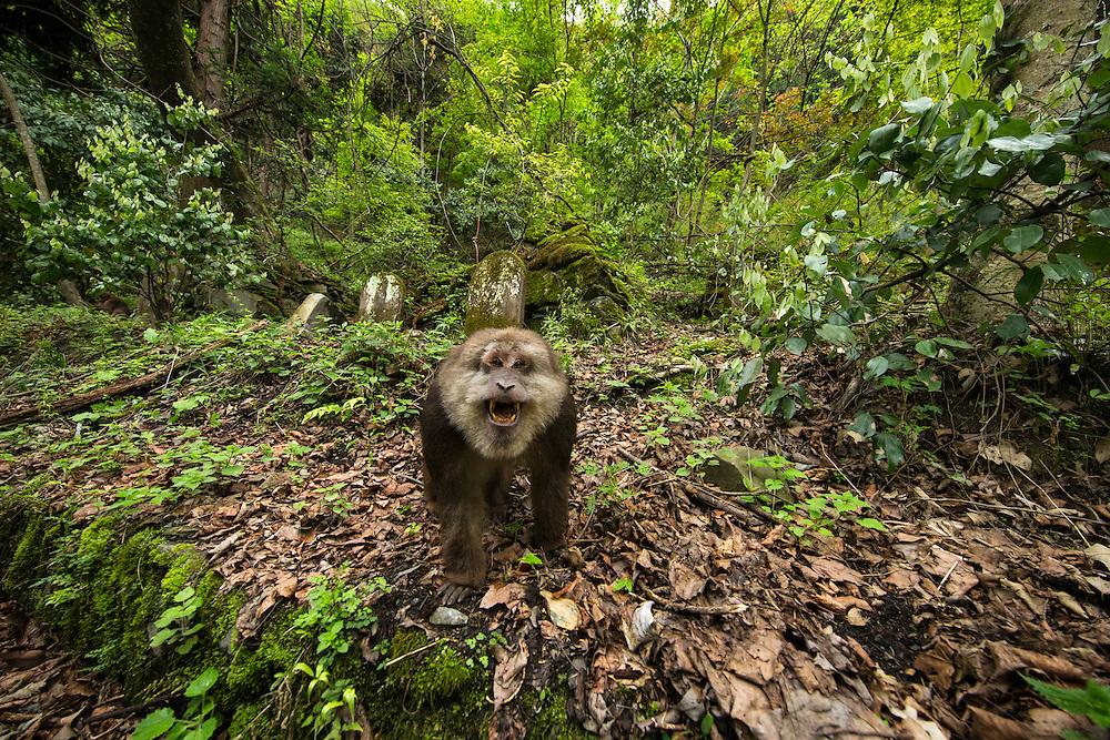 Tibetan Macaque, Macaca thibetana, 藏酋猴,taking a rest, 2015-04-16,  Tangjiahe Nature Reserve, Sichuan Province, China