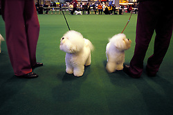 Bichon Frise at Crufts Dog Show 2002, Birmingham, England, UK.